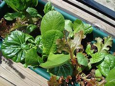 Ottenere insalata e ortaggi anche senza molto sole è possibile. Ecco come ottenere il meglio se hai poca luce o devi coltivare in un orto con poco sole.