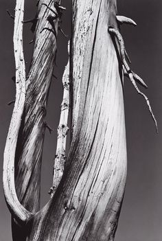 Ansel Adams (American Dead Tree Dog Lake Yosemite National Park (c. Gelatin silver print The Metropolitan Museum of Art New York (Elisha Whittelsey Collection) Edward Weston, Black And White Landscape, Black N White Images, Ansel Adams Photography, Nature Photography, Sierra Nevada, Famous Photographers, Landscape Photographers, Ansel Adams Photos