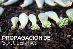 Propagating succulents on your own is a simple, and cost effective way to grow your collection without spending a bunch of money. In the most basic terms, propagation is the act of taking an element of a mature succulent and using that e. Propogate Succulents, Propagate Succulents From Leaves, Baby Succulents, Growing Succulents, Succulent Gardening, Planting Succulents, Organic Gardening, Propogating Plants, Propagating Cactus