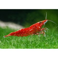red cherry freshwater shrimp