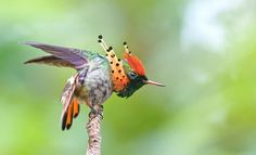 Tufted Coquette (Lophornis ornatus) by Michel Giraud-Audine: This tiny hummingbird which breeds in parats of Venezuela, Trinidad and Brazil is 6.6cm long and weighs 2.3 g and is said to be tame and approachable. http://en.wikipedia.org/wiki/Tufted_Coquette #Hummingbird #Tufted_Coquette