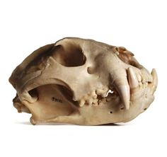 California Academy of Sciences: Skulls