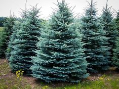 Fall Container- Baby Blue Spruce - plant a small one in container for fall and winter and then plant in the garden in spring Fall Container- Baby Blue Spruce - plant a small one in container for fall and winter and then plant in the garden in spring Landscaping Plants, Front Yard Landscaping, Landscaping Ideas, Fence Plants, Evergreen Landscape, Evergreen Trees Landscaping, Dwarf Evergreen Trees, Evergreen Garden, Blue Spruce Tree