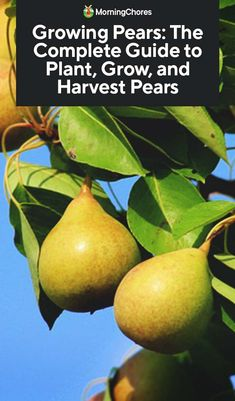garden care backyards Growing Pears: The Complete Guide to Plant, Care, and Harvest Pears Fruit Garden, Edible Garden, Garden Plants, Garden Care, Pear Varieties, Growing Fruit Trees, Growing Plants, Pyrus, Organic Gardening Tips