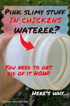 Clean Chicken, Chicken Eating, Chicken Feed, Canned Chicken, Healthy Chicken, What Can Chickens Eat, Pet Chickens, Backyard Chickens, Raising Chickens
