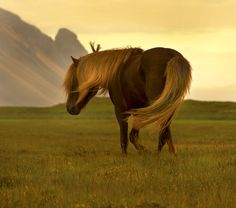 Icelandic stallion by Anna Guðmundsdóttir, via 500px