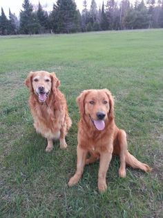 Golden Retrievers, Journey and Shadow