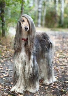 """Si bien hay razas de perros muy inteligentes, también algunas te sacarán """"canas verdes"""". Aquí las 10 razas de canes más desobedientes según I love dogs site."""