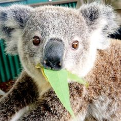 Nom nom nom. Koalas only eat the leaves of about 50 out of the 700+ species of Eucalyptus trees. Talk about fussy eaters! #koala #koalityfact Instagram photo by @sabbiak