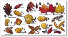 Leaf Identification Chart | Leaf Miner - In this game, choose the correct leaf name from three ...