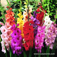 Plant glads through May, about 5 inches deep and 4 inches apart in a well-draining, sandy soil enriched with compost. Place a little bulb fertilizer under each corm. If you begin planting as early as possible and stagger plantings every two weeks, you'll enjoy a long season of blooms.