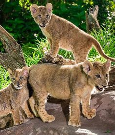 Beautiful lion cubs hang out at Busch Gardens in Florida. Very gorgeous!