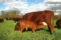 Wilberforce and adopted mother Winnifred savoring the last weeks of fresh grass at Full and By Farm, Esesx, NY. (Credit: James Graves)