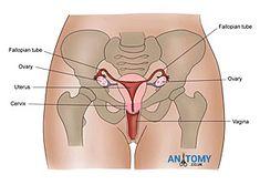 Патчи с маслами ПМС менопауза гормональный баланс Prolapsed Uterus, Anatomy, Artistic Anatomy