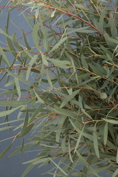 willow eucalyptus ... a touch of this in the bouquets give s very rustic soft look!