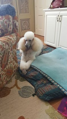 Our precious standard poodle Tulsa . The love of our life.