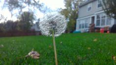 ITAP of a dandelion http://ift.tt/2kmNZUe
