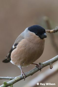 Common Bullfinch (Pyrrhola pyrrhola)