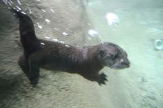 You Otter See What's New At The Detroit Zoo http://www.zooborns.com/zooborns/2014/06/you-otter-see-whats-new-at-the-detroit-zoo.html