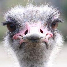 Struisvogel in Blijdorp