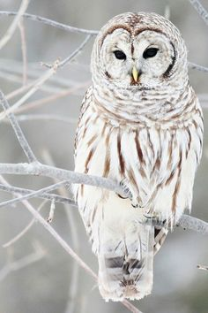 ✯ Owl in winter