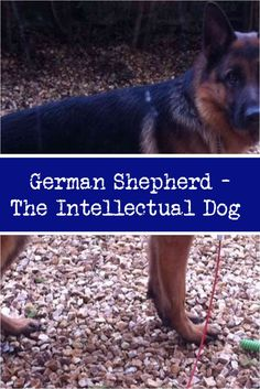 What To Do About Bully Breeds Of Dogs Black German Shepherds