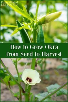 Thinking about growing okra in your garden? This guide on how to grow okra will help you care for your okra plants from seed to harvest. Included are … - All For Garden Growing Okra, Growing Greens, Growing Veggies, Planting Vegetables, Planting Seeds, Growing Plants, Backyard Vegetable Gardens, Fruit Garden, Gardens