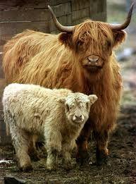 Scottish Cows! Mom & Her Calf