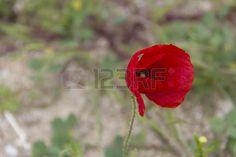 red flower nature environment petals petal wind flowers Stock Photo @123rf
