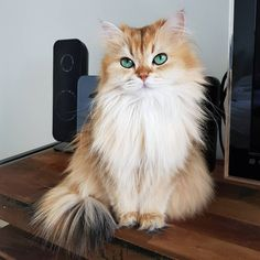 That is a beautiful cat Cute Cats And Kittens, I Love Cats, Crazy Cats, Cool Cats, Kittens Cutest, Pretty Cats, Beautiful Cats, Animals Beautiful, Animals And Pets