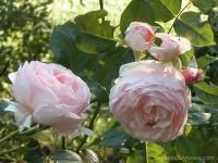 Searching Roses by Modern Reproduction. | Rogue Valley Roses