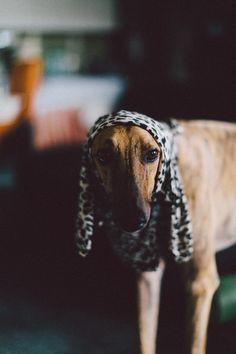 Chester Greyhound   Pawshake