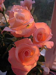 Captivating Why Rose Gardening Is So Addictive Ideas. Stupefying Why Rose Gardening Is So Addictive Ideas. Beautiful Rose Flowers, Love Rose, Flowers Nature, Beautiful Gardens, Beautiful Flowers, Orange Rosen, Ronsard Rose, Coming Up Roses, Gras