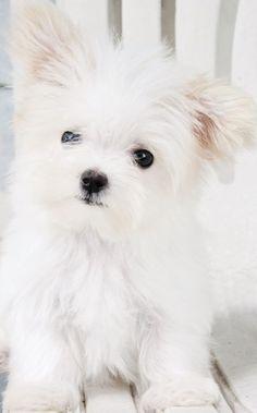 Lovely Maltese puppy