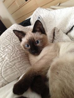 My 3 month old tonkinese kitten Minnie. Tonkinese Kittens, Siamese Cats, Cats And Kittens, Animals And Pets, Baby Animals, Funny Animals, Cute Baby Cats, Cute Little Animals, Oriental Cat