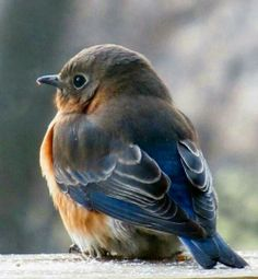 I love my family of Bluebirds...