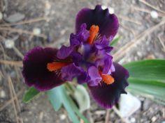 Photo of Iris (Iris 'Keeno') uploaded by Paul2032