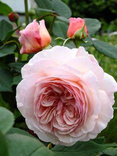 English Shrub Rose: Rosa 'A Shropshire Lad' (U.K., 1997)