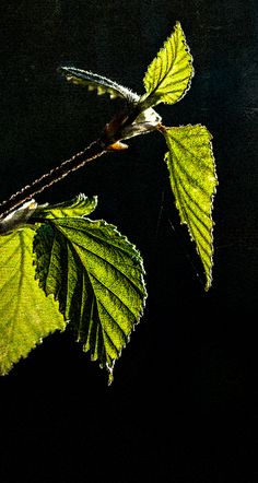 Backlit spring birch leaves (2016) Dan Creek in Wrangell St. Elias National Park, Alaska.  Buy photo prints by Fred Denner, photographer. Original photos and designs. Buy photos online. Wall art, Alaska landscape , nature and more...  All my photos are the original work of Fred Denner. All rights reserved.   Thank you for your interest in my photography.  │  alaska, alaska wilderness, wrangell st elias national park, nature