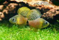 oreichthys-crenuchoides-4-sanyow-su.jpg.