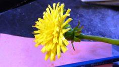 Одуванчик из холодного фарфора \ How to make a dandelion from a cold por...