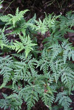Cheilanthes argentea coll. #03CH256 (Silver Cloak Perennial Fern)