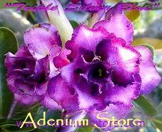 Adenium Obesum 'Triple Silver Blue' (5 Seeds)