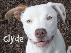 "At Indianapolis Animal Care and Control: ""Clyde is an adoptable Pit Bull Terrier Dog in Indianapolis, IN.  Clyde is a nice, playful puppy who loves to give kisses. He is very gentle and has good manners for such a young puppy."""