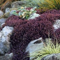 Acaena Purple Carpeting (acaena inermis 'purpurea'). Companion plant for Japanese Maple. This selection forms a carpet of dusky plum-purple leaves with a feathery texture. Small brown burr-shaped flowers appear in summer. Good for edging a sunny border, in the rock garden or alpine trough. Also suitable for stone walls. Although nice in the rock garden, plants can grow beyond where they are wanted, so keep a firm upper hand. Evergreen in mild winter regions. Deer Resistant &  Drought…