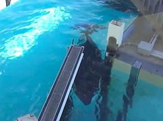 """THE DODO:  Sorry, SeaWorld, but is this pregnant whale """"playing"""" with her gate or is she just stuck?  http://thedo.do/1xNQmji"""