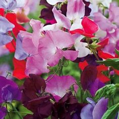Sweet Pea Spencer Mix Seeds - Irish Plants Direct