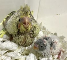 Baby buddies. #cockatiel and #parakeet