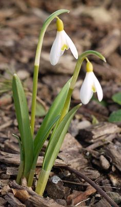 Galanthus nivals 'Ecusson d'Or' a bit of a sweetie  #snowdrops