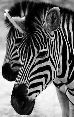 Love  Zebras!!